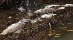 Xuất hiện cá chết bất thường hơn 3km trên sông ở Quảng Ngãi