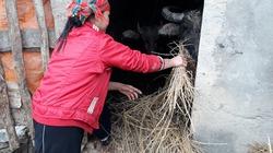 Rét âm 3 độ C, Lạng Sơn khẩn trương chống rét cho trâu bò
