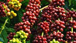 Áp lực hãm giá cà phê, hồ tiêu lấy lại đà tăng