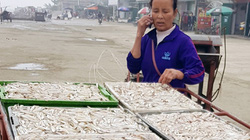 Chuyến ra khơi trúng đậm 80 tấn cá cơm, tép moi