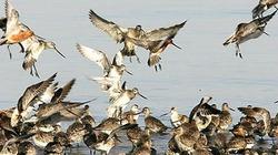 Xứ Hàn mùa chim di cư, tăng kiểm dịch virus cúm gia cầm