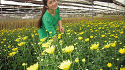 Chiềng Xôm thêm đòn bẩy kinh tế từ trồng hoa