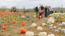 Nông trại bí ngô khổng lồ cho mùa Halloween