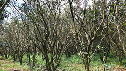 Cận cảnh vườn bưởi Năm Roi miền Tây héo rũ, quả rụng đầy gốc sau triều cường