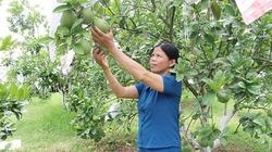 Nhà nông đất Tổ làm giàu từ trồng bưởi đặc sản