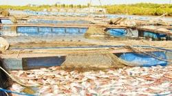 Giải quyết tình trạng nuôi thủy sản tự phát gây ô nhiễm trên sông Chà Và