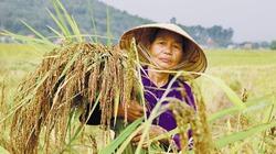 Nếp hạt cau - loại lúa đặc sản có giá bán cao gấp 3 lần nếp thường