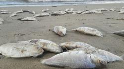 Cá chết bất thường dạt hàng cây số tại bờ biển Đà Nẵng