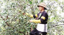 Mường La thoát nghèo nhờ chuyển đổi cơ cấu cây trồng