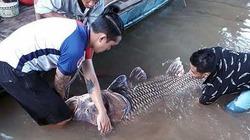 """Ngư dân """"trúng lộc"""" cá hô vàng khổng lồ quý hiếm trên sông Tiền"""