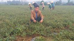 Giám đốc trẻ đưa cả làng ăn nên làm ra nhờ loài cây dại