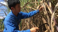 Nông dân Sơn La làm giàu từ cây mía