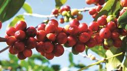 Cà phê liên tiếp giảm 5 phiên, hồ tiêu thử thách lòng kiên nhẫn