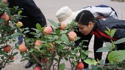 Táo bonsai Trung Quốc tiền triệu khuấy đảo thị trường Hà Nội