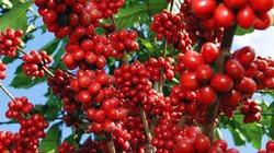 Cà phê tăng vọt do lực bán yếu ớt, hồ tiêu hờ hững