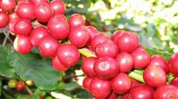 Cà phê chao đảo giảm nhẹ, hồ tiêu lao dốc mất 3 triệu/tấn