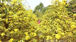 """Chiêm ngưỡng những cây mai vàng """"đại thụ"""" ở Vĩnh Long"""