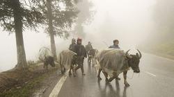 Rét kỷ lục làm chết trên 2.000 trâu bò, miền Bắc ngừng gieo cấy