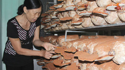 Mô hình trồng nấm dễ làm, lãi lớn