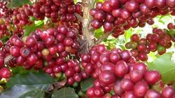 Cà phê tăng mức cao nhất tháng 2, hồ tiêu sụt giảm