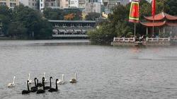 Trái chiều ý kiến thả thiên nga ở Hồ Gươm