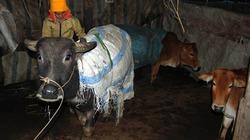 Người rét run, trâu bò đổ gục trong giá buốt vùng cao Yên Bái
