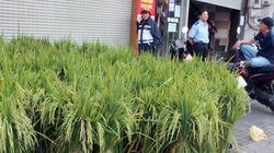 Mua sắm Tết : Người Sài Gòn mua cây lúa, cây ngô về đón năm mới