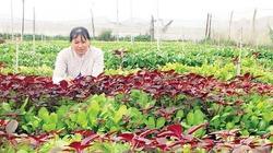 Mô hình trồng rau sạch lãi gần 20 triệu đồng/tháng