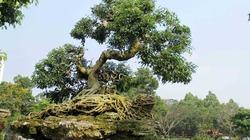 """Cặp cây sanh hình """"thần kim quy"""" hớp hồn người xem tại Hội hoa xuân ở Sài thành"""