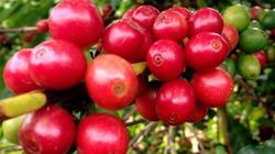 Cà phê bất ngờ giảm do vội bán chốt lời, hồ tiêu im lìm neo giá thấp