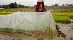 Cách chống rét cho mạ, lúa Đông Xuân trong giá băng