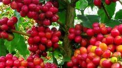 Cà phê giảm sâu giá tiêu tăng đồng loạt