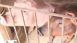 Lạ kỳ chuyện chăn nuôi lợn đông đàn, thơm thịt chỉ từ thức ăn bỏng ngô