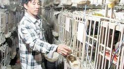 Bí quyết nuôi bồ câu Pháp lai lãi lớn của lão nông Đà Nẵng