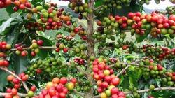 Cà phê kéo dài chuỗi giảm bốc hơi 40 USD/tấn trong 2 phiên