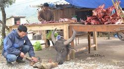 Rét buốt quật ngã hàng trăm con trâu ở Lào Cai, thiệt hại tiền tỉ