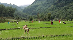 Ốc bươu vàng đẻ rộ hại lúa xuân, nông dân chủ động đối phó