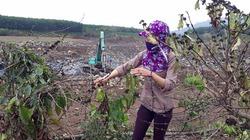 """Hàng nghìn cây cà phê ở Gia Lai khô héo chết đột ngột, dân """"vác"""" đơn kêu cứu!"""