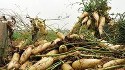 Hà Nội: Xót xa hàng tấn củ cải nông dân vứt bỏ trắng đồng