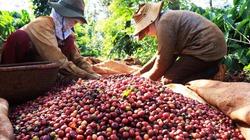 Giá cà phê hôm nay bật tăng về 37.000 đồng, giá hồ tiêu tăng nhẹ