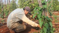 Nông dân liều trồng cây lạ trên gốc tiêu chết, liệu có ngon ăn?