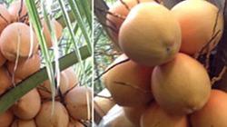 Vườn dừa hai màu vàng cam độc đáo hút khách tại TP.HCM