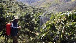 Nhân rộng cây trồng xen trong vườn cà phê