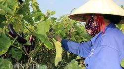 Nghịch cảnh giá cà dừa tím thấp kỉ lục, bà con không dám thu hoạch