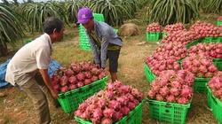 """Giá nông sản như thanh long, mít """"rủ nhau"""" tăng kỷ lục"""
