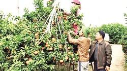"""Cả xã mất mùa, """"Gã gàn"""" trồng cam trên đất vải vẫn thu về tiền tỉ"""