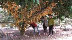 Cho khách du lịch tham quan vườn cây, anh nông dân thu 9 triệu đồng/ngày