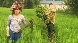 """""""Lúa ma"""" lấn ruộng, lỗi tại nông dân?"""
