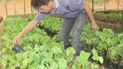 Thuần hóa rau bò khai rừng thành rau nhà, ngồi đếm ngọn thu tiền
