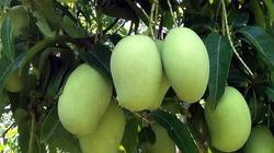 Tín hiệu vui xuất khẩu trái cây Việt Nam sang Mỹ